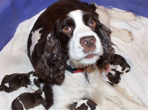 akc puppies springer spaniel puppies for sale akc marketplace