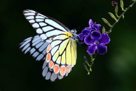 imagenes de mariposas de verdad hermosas im 225 genes del jard 237 n de mariposas en sri lanka