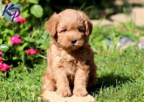 mini labradoodle puppies ch miniature labradoodle puppy keystonepuppies miniaturelabradoodle mini