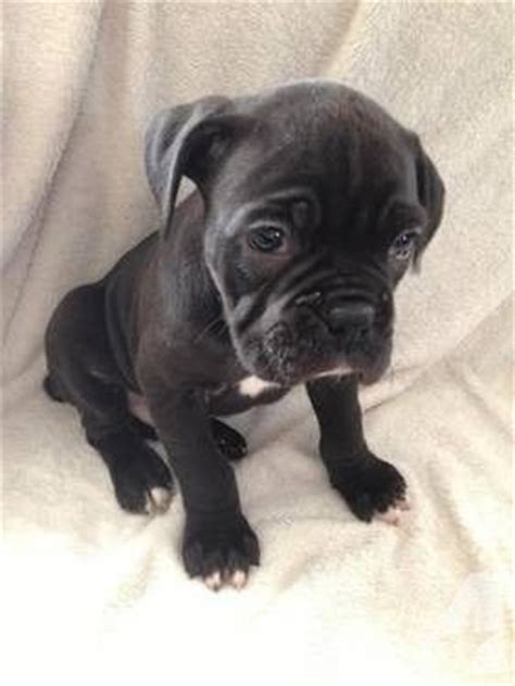 boxer puppies for sale michigan american boxer akc boxer puppies for sale in ash twp michigan classified