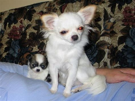 white chihuahua puppies for sale 31 best images about blue chihuahuas on