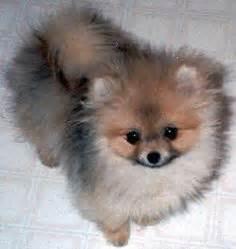 shih tzu pomeranian poodle mix chiwawa mix with pomeranian search animals i