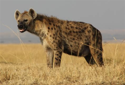 is a hyena a what hyena giggles really say phenomena laelaps