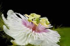 fiore commestibile fiore della passiflora foto stock 819 fiore della