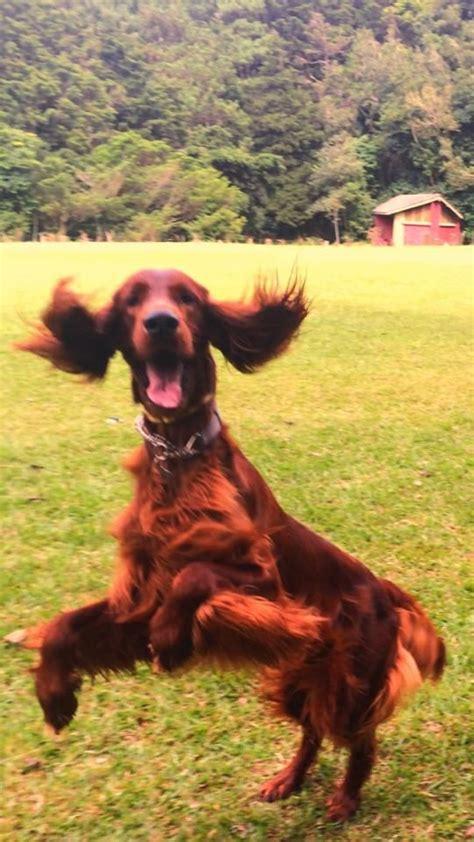 au setter dog lisieux the 25 best irish setter ideas on pinterest red setter