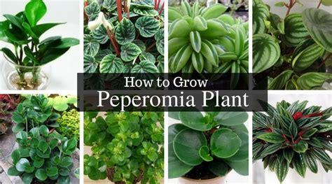 peperomia plant   radiator plants