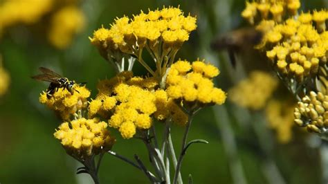 elicriso coltivazione in vaso elicriso pianta piante perenni pianta di elicriso