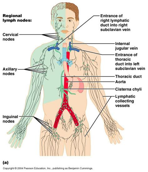 lymphatic drainage system diagram lymphatic drainage system diagram 28 images the