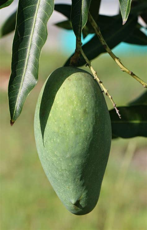 mango tree fruiting mallika mango delicious semi indian mango tree for