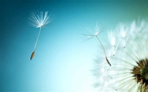 Qw Wallpaper Dandelion Pink wallpaper dandelion flower dandelion seeds hd photography 7474