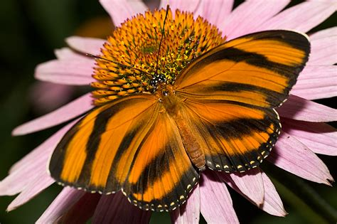tigre y mariposa imagenes 12 rare sighted and appealing butterfly species page 2 of 2