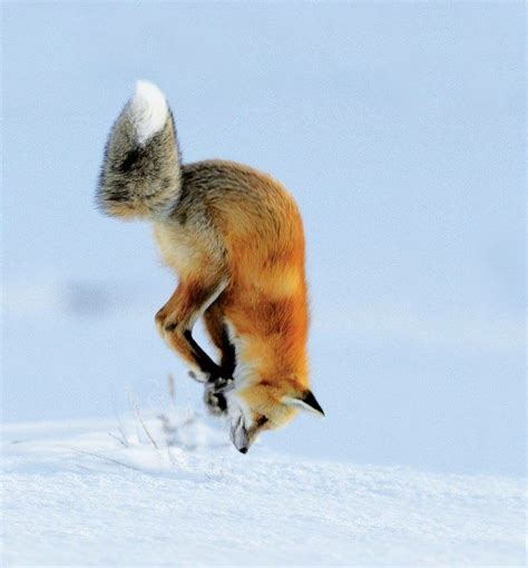 the man red fox 009910881x 79 best gt fox jump images on foxes fox and wild animals