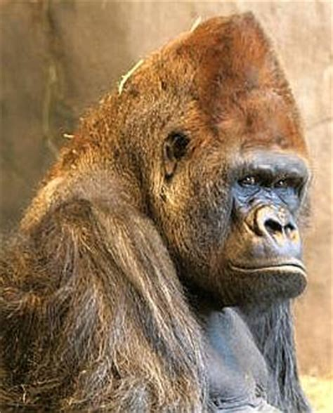 silverback gorilla bench press gorilla
