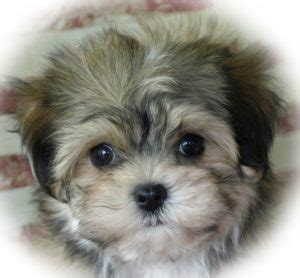 kingskids havanese havanese puppies puppy for sale dogs breeders breeds family children