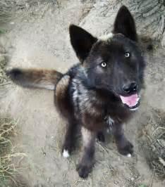 belgian shepherd wolf hybrid best 10 wolf dogs ideas on pinterest wolf hybrid dogs