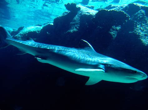 baby shark background 25 tiger shark pictures and hd wallpapers