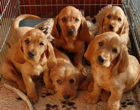 basset fauve de bretagne puppies basset fauve de bretagne puppies kc reg markfield leicestershire pets4homes