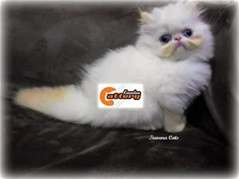 Sho Kutu Kucing Malaysia kucing di kuantan pahang malaysia kucing kami