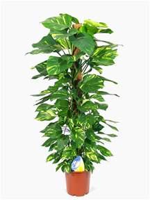 Indoor House Plants Sale by Epipremnum Devil S Ivy For Sale Online Buy Now