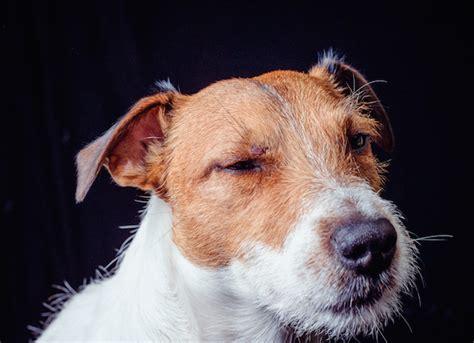 how does parvo last in a puppy parvovirus infection canine parvovirus parvo petmd
