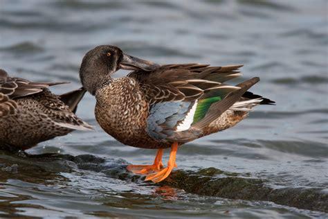 Lonceng Duck Type 9 northern shoveler audubon field guide