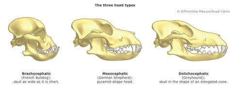 why do pugs snouts pug skull rebrn