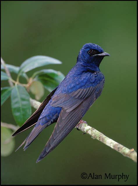 purple martin progne subis north american birds online guide