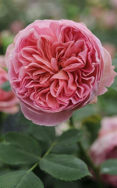 Scented Garden Flowers Scented Roses Boscobel Has A Myrrh Scent And Salmon Pink Rosette Formed Flowers Held On An