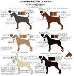 doberman colors doberman pinscher coat color and anatomy guide by