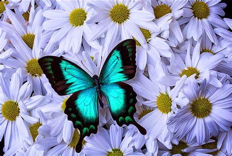 imagenes de mariposas posadas en flores cuadros modernos pinturas y dibujos mariposas y flores