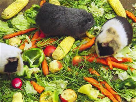 vegetables guinea pigs can eat guinea pig food