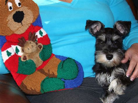 havanese puppies raleigh nc akc puppies for sale near lumber bridge carolina akc marketplace