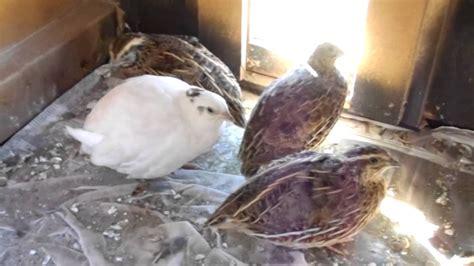 coturnix quail nesting box youtube