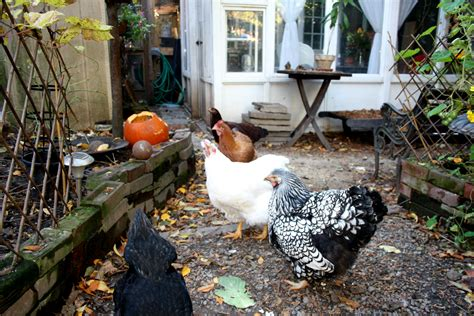city council approves backyard chicken pilot in toronto