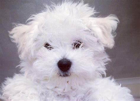 cani di razza piccola per appartamento cani da appartamento di piccola taglia idee green
