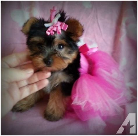 cheap micro teacup yorkies for sale yorkie puppies for sale in breeds picture
