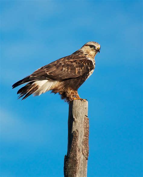 rough legged hawk nw bird blog rough legged hawk