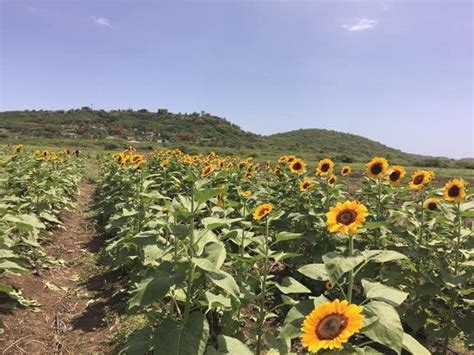 sunflower farm sunflower farm guanica picture of turtle bay inn lajas