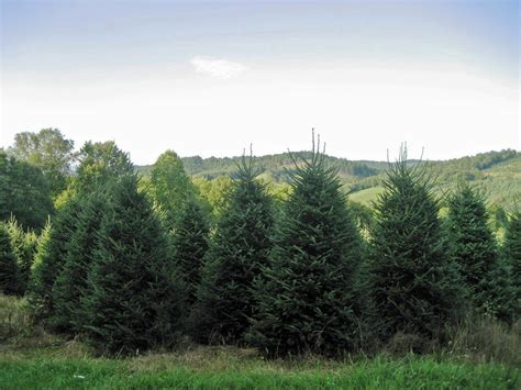 christmas tree farms in quad cities tree farm florida decore