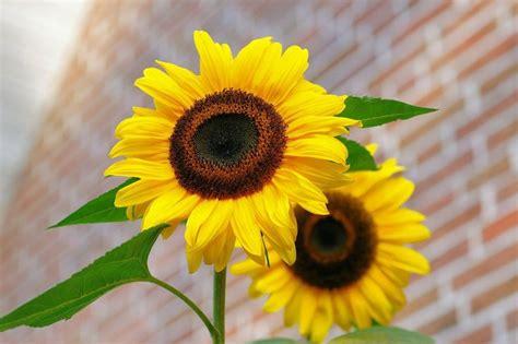 imagenes de flores de girasol girasoles en casa plantas