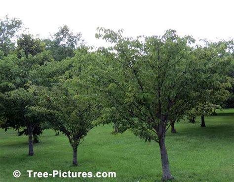 樱桃树 樱桃树的果园