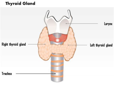 thyroid gland diagram 0514 thyroid gland images for powerpoint