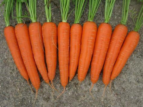 Benih Wortel Judy carrot judy 400benih purie garden