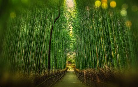 bamboo hedge   amazing   bamboo