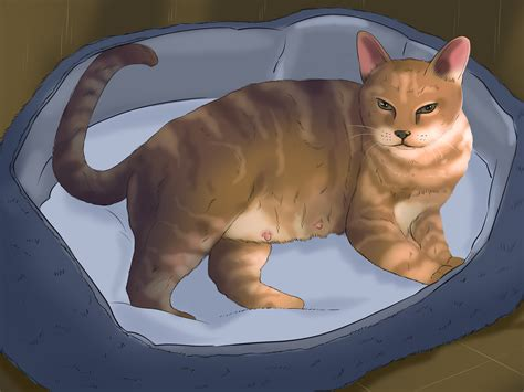 cat pregnancy how to tell if your cat how to tell if a cat is 12 steps with pictures