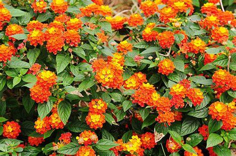 jual bunga lantana orange oranye bibit tanaman hidup