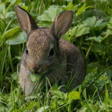 coniglio alimentazione follow the bunny segui il coniglio