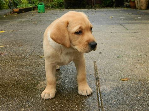 yellow lab puppies yellow lab puppies facts