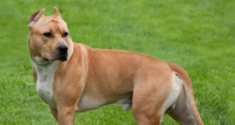 Apartment Dogs Low Maintenance Large Apartment Dogs The Best Breeds Top Low