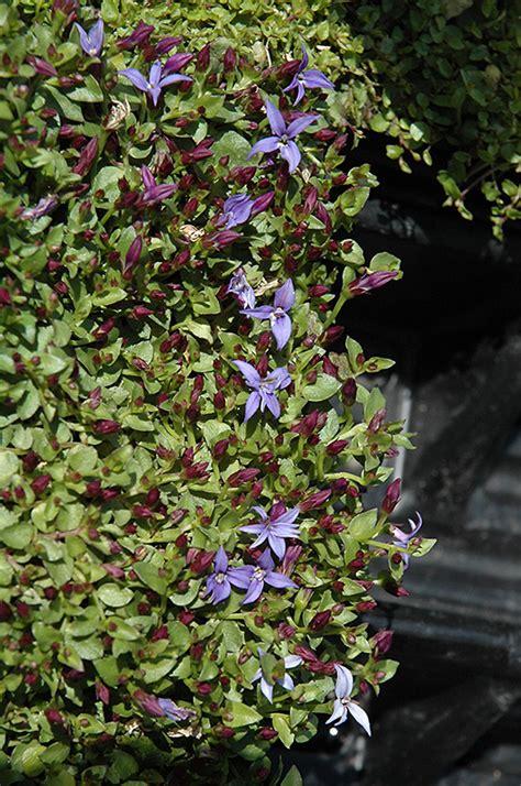county park star creeper pratia pedunculata county park